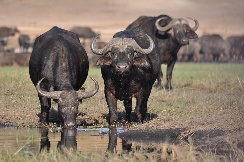 10. Black Buffalo (Sub-Saharan Africa)
