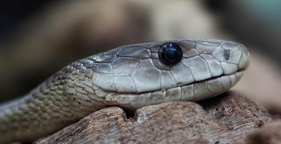 5. Black Mamba (Southern and Eastern Africa)