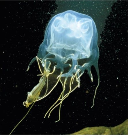7. Cubozoa (Pacific and Indian Ocean)