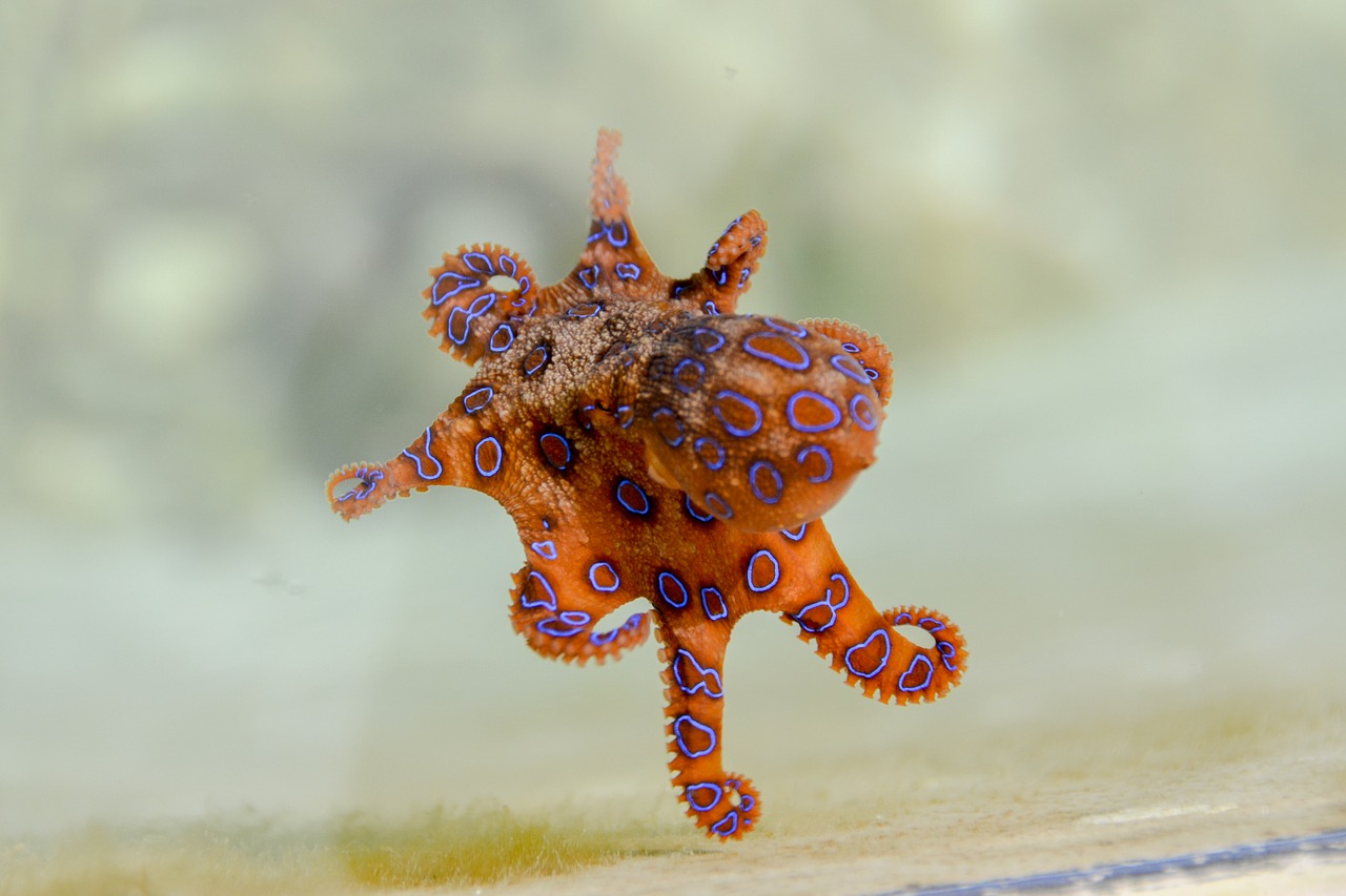 Blue-Ringed Octopus (Australian and Southeast Asian coasts)