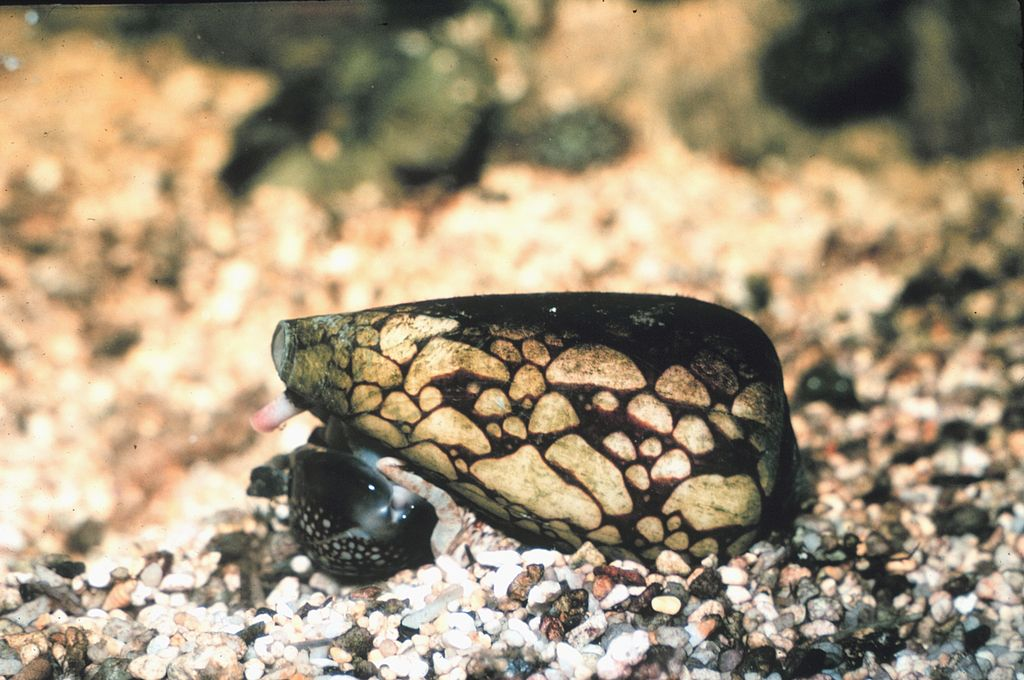 Marbled Cone Snail (Tropical Pacific Area)