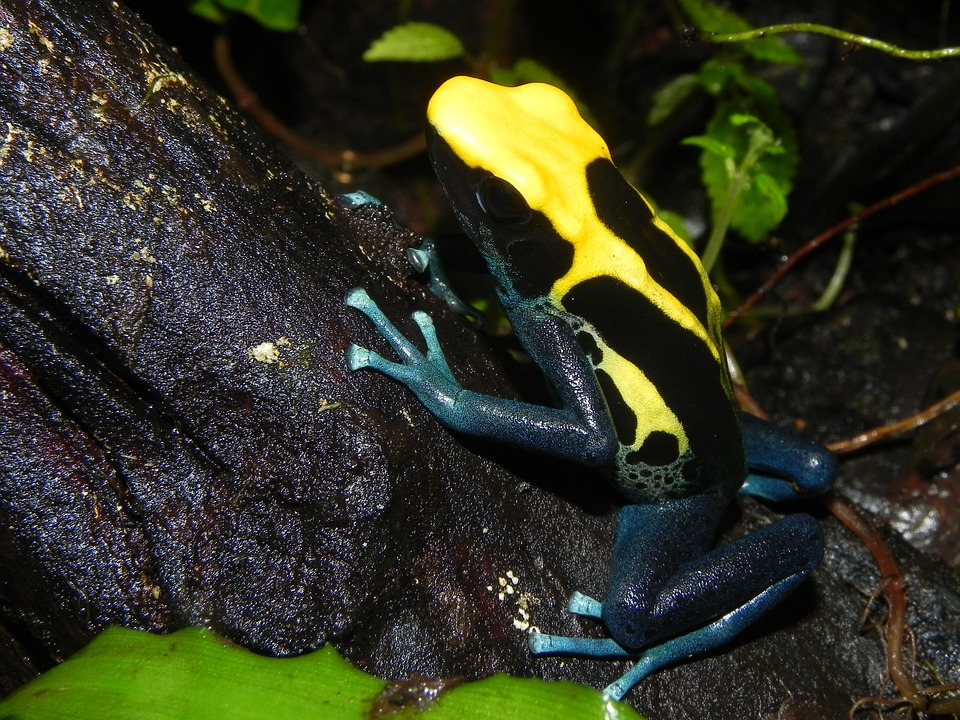 Poison Dart Frog (South and Central America)