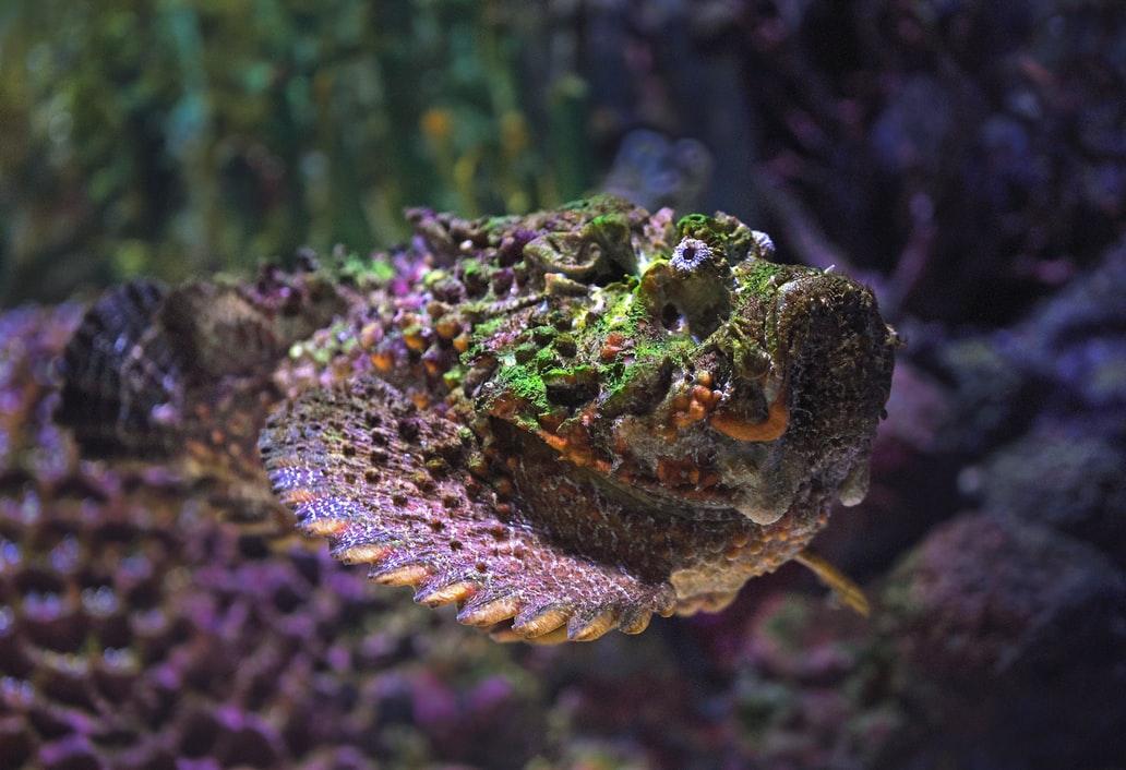 Stonefish (Pacific Area)