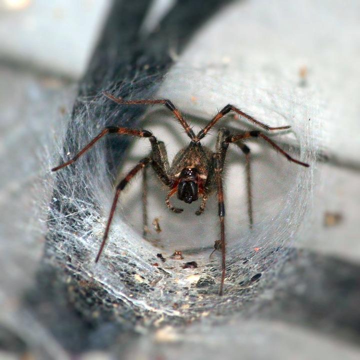 Tunnel Spider (Australia)