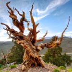 1. Great Basin Bristlecone Pine, 5066 years old