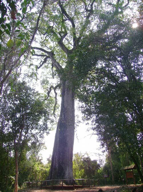 10. Patriarch of the Forest, 3000 years old