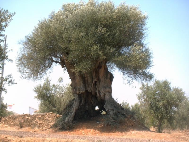 11. Oliveira De Santa Iria De Azòira, 2850 years old
