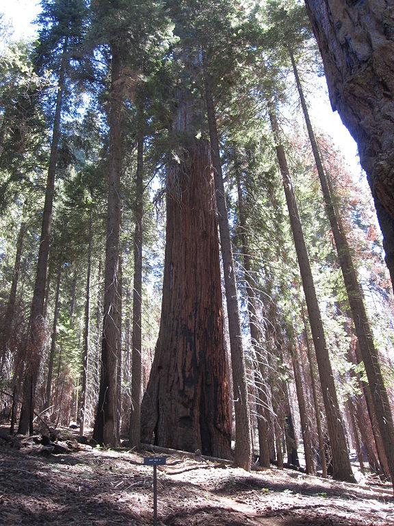 11. The Hart Tree - 84.7 meters