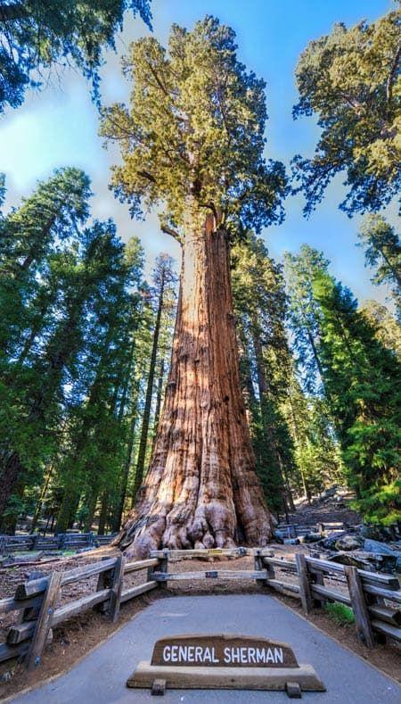 12. The General Sherman Tree - 83.8 meters