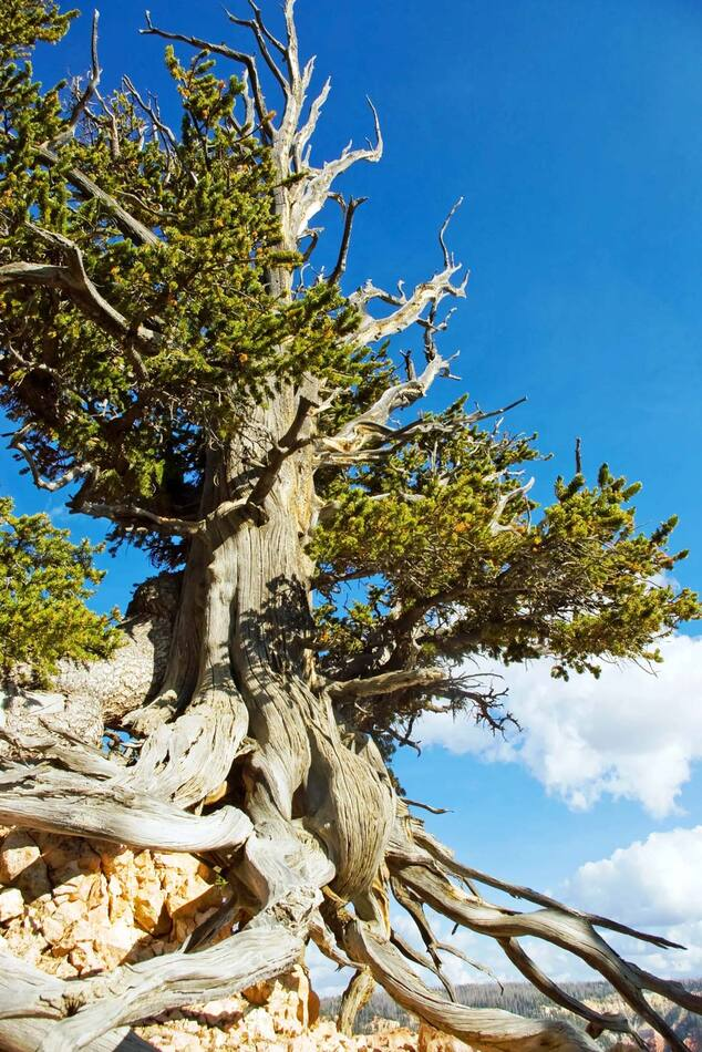 12. The Rocky Mountain Pine, 2459 years old