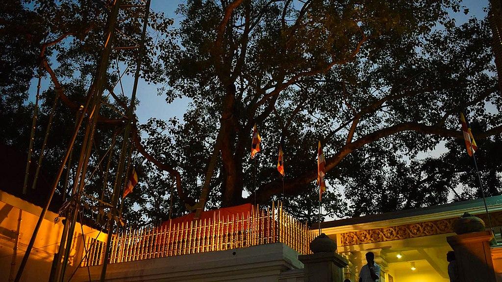 13. Jara Sri Maha Bodhi, 2302 years old