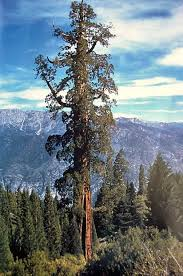 14. Boole Tree - 81.9 meters