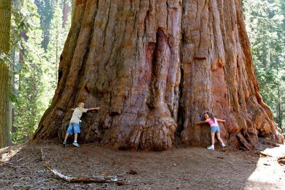 14. Evergreen Sequoia, up to 2300 years old