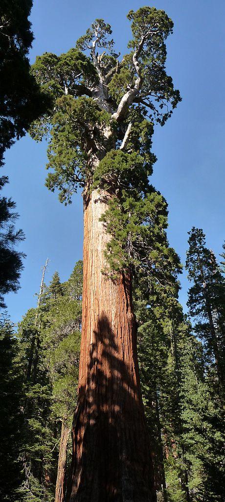15. The General Grant Tree - 81.5 meters