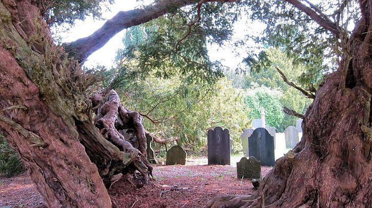 4. Llangernnyw Yew, 4000 - 5000 years old