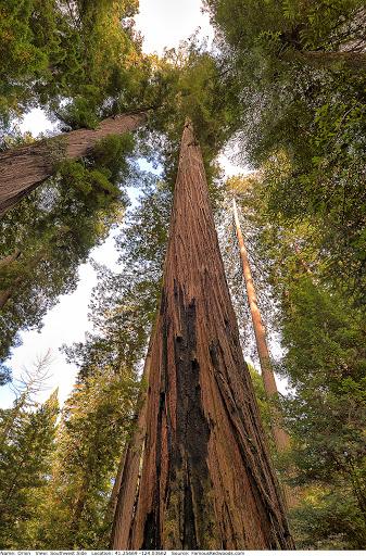 6. Orion Tree - 112.63 meters