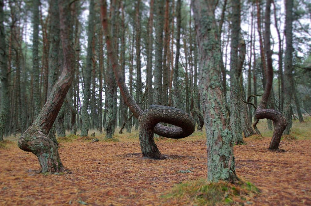 2. The Dancing Forest, Between Lithuania and Russia