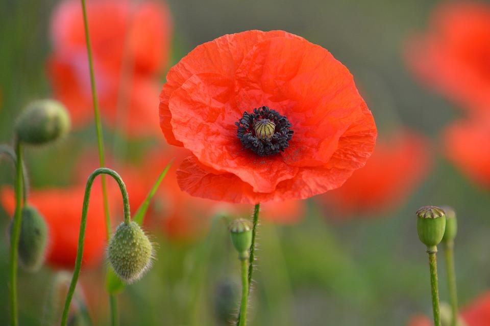20. Red Poppy Fields of Flanders - Belgium