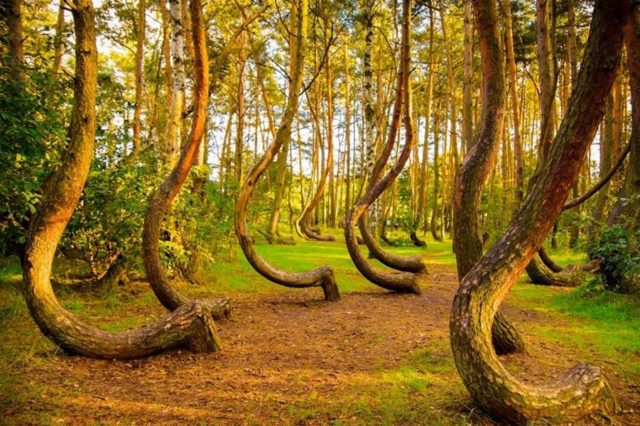 7. Crooked Forest of Gryfino, Poland