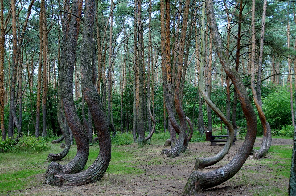 Crooked forest of Gryfino, Poland