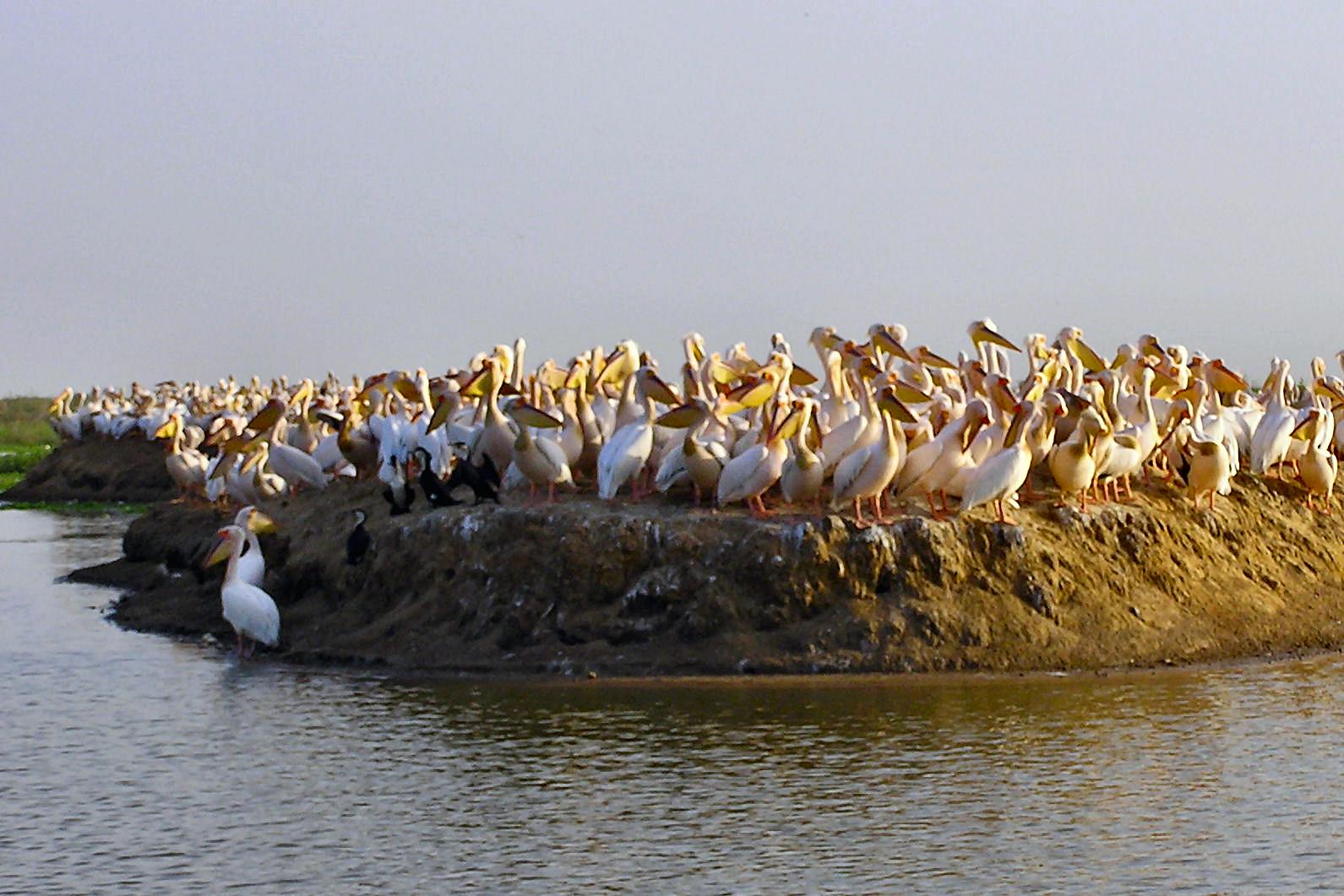 File:Djoudj ile pelican.jpg - Wikimedia Commons