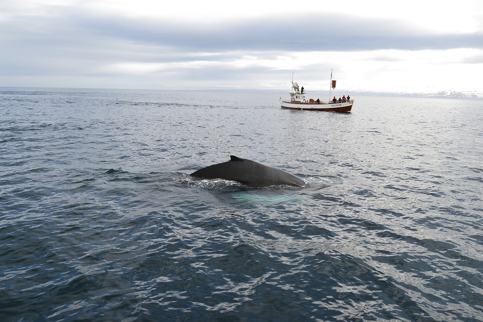 Joining a whale watching trip in Iceland