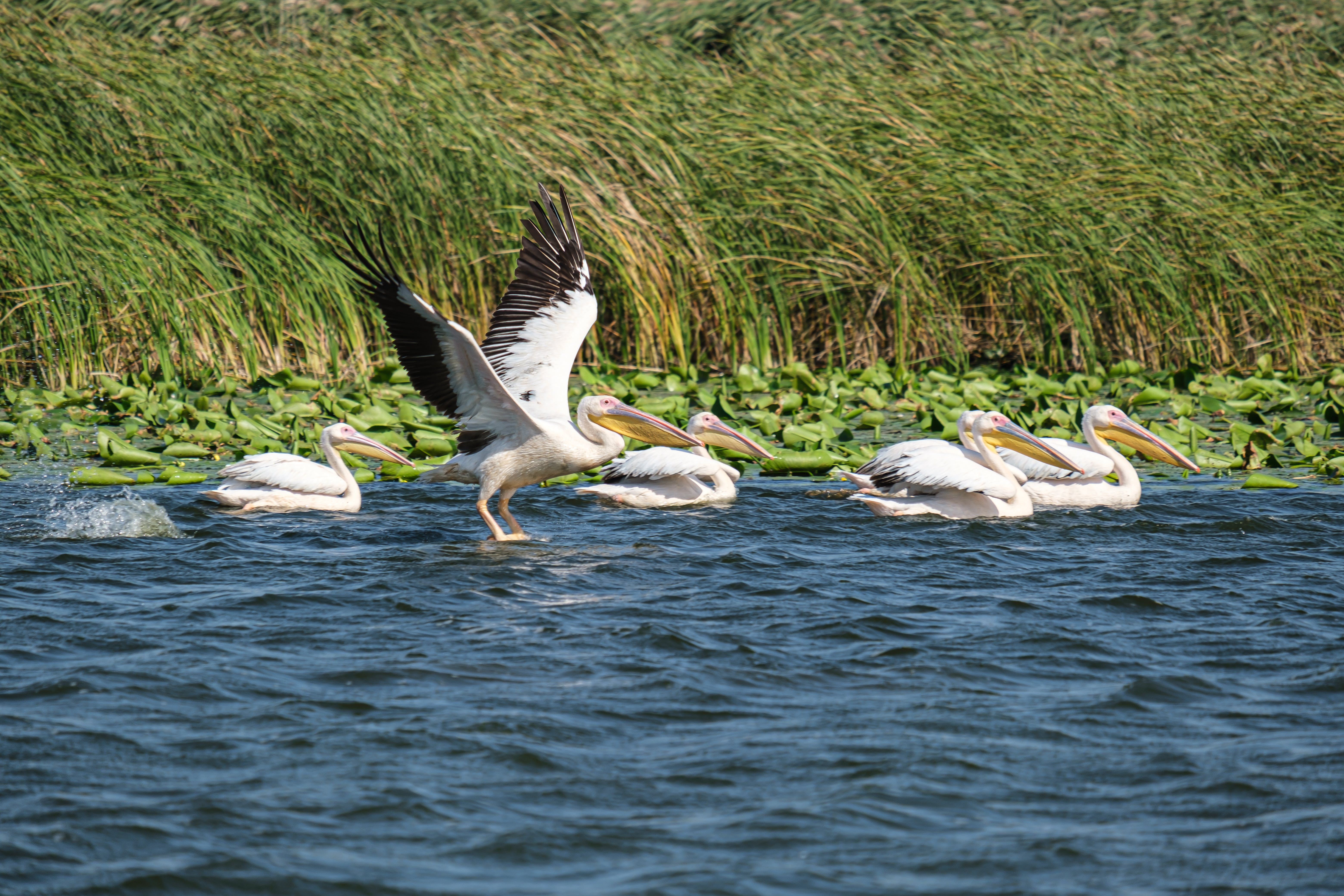 White Pelican on Green Grass Near Body of Water